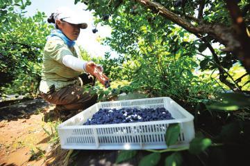 蓝莓熟农家乐