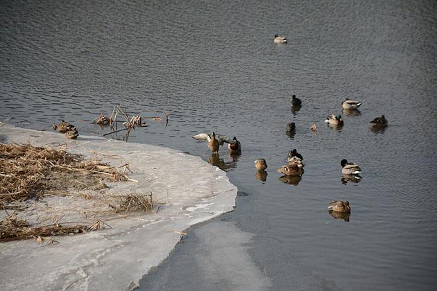 野生绿头鸭栖息武烈河